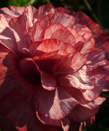 Typisch für den Mohn Papaver 'Angels Choir' sind halbgefüllten zarte Blüten.