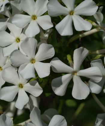 Typisch für den Phlox 'Casablanca' sind die offenen Blüten. Für eine Flammenblume verträgt die Pflanze relativ viel Trockenheit.
