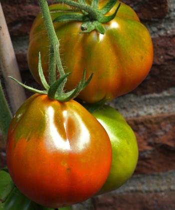 Typisch für die Trüffeltomate ist die beutelförmige Frucht.