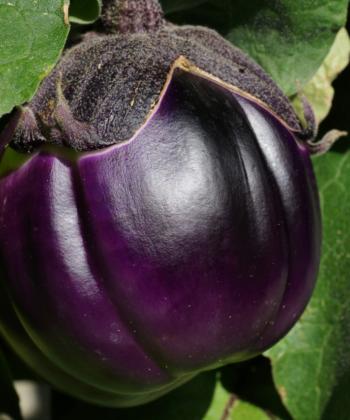 Typisch für die italienische Aubergine Prosperosa sind die runden Früchte, die in ihrer Farbe spielen.