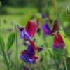 Typisch für die wilde Lathyrus odoratus sind die kräftigen Blütenfarben und der intensive Duft.