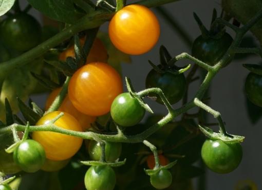 Über und Über mit Früchten behangen: Gelbe Johannisbeertomate