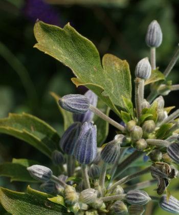 Unentwegt erscheinen die Knospen von Clematis heracleifolia 'Blue Dwarf'.