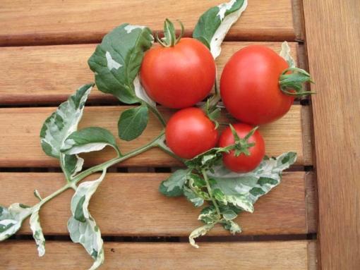 Die Tomate Splash of Cream ist auch unter 'Variegata' bekannt.