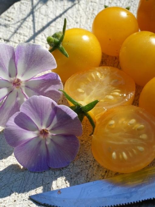 Die Tomate 'Venus' ist eine leckere gelbe Cocktailtomate mit ausgeprägtem Aroma.