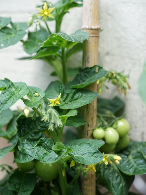 Tomate Venus am Strauch