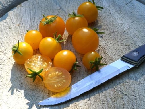 Tomate Venus 2