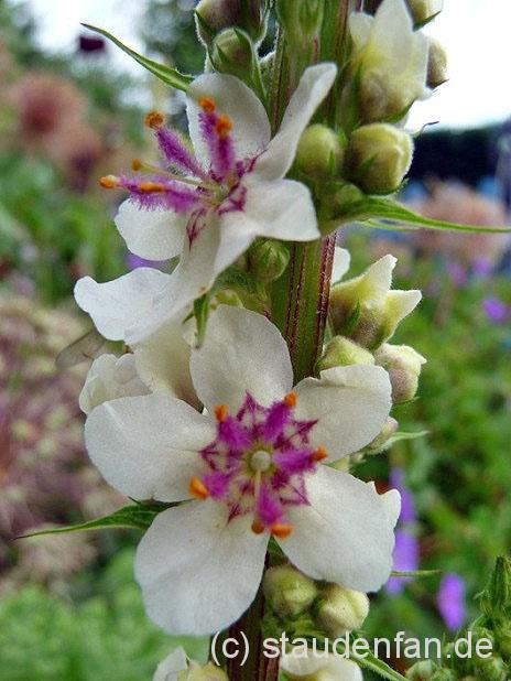 Verbascum nigrum 'Alba' Weiße Königskerze