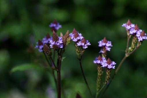 Verbena 'Lavender Spires' blüht ab dem Sommer und ist in jedem Staudenbeet eine Pracht. Eine dankbare Gartenverbene.