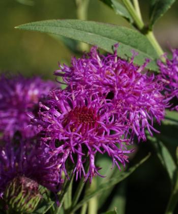 Vernonia arkansana 'Rock Hill' ist eine imposante Staude und blüht dunkel Violet.