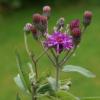 Vernonia baldwinii CW2016271: Detail einer Blüte.