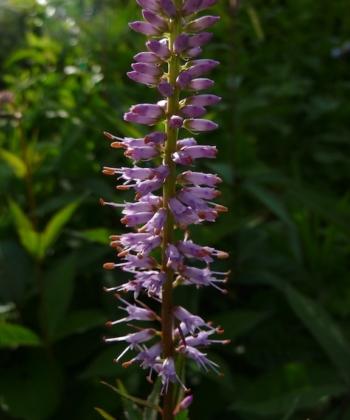 Veronicastrum virginicum 'Adoration' hat lavendelfarbende Blüten mit Knospen die dunklere Spitzen besitzen.