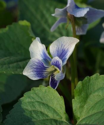 Viola sororia 'Priceana' liebt einen feuchten Boden und blüht bezaubernd.