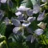 Das Pfingstveilchen (Viola s. 'Freckles') zeigt eine sehr ungewöhnliche Blütenfärbung.
