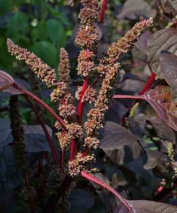 Amaranthus - Fuchsschwanz