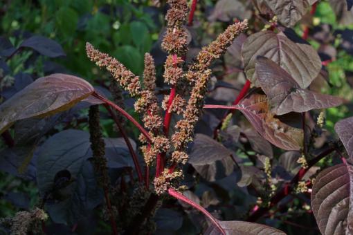 Vom Amaranth (Amaranthus lividus var. rubrum) wird das junge Laub wie Spinat verwendet.