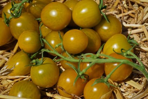Wer die Tomate Green Grape einmal angebaut hat, wird sie immer wieder anbauen.
