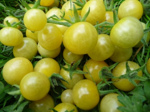 Tomate White Currant