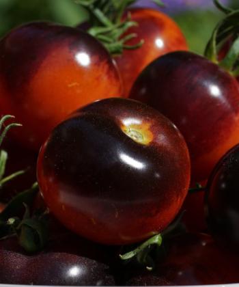 Wie Juwelen: die Früchte der Tomatensorte Indigo Rose.