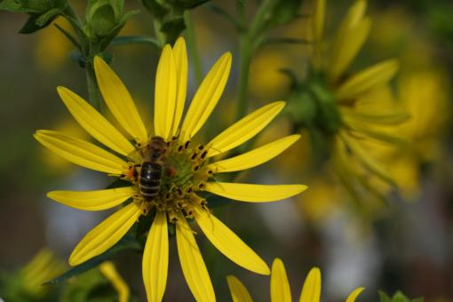 Wie alle Pflanzen aus der Gattung Silphium, ist auch Silphium integrifolium bienenfreundlich und bei hemischen Insekten beliebt.