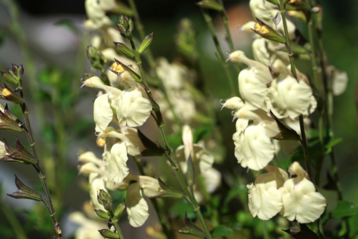 Wie alle semiwinterharten Salbeis, ist auch die Salvia 'White Butterfly' eine reichblühende Kübelpflanze.