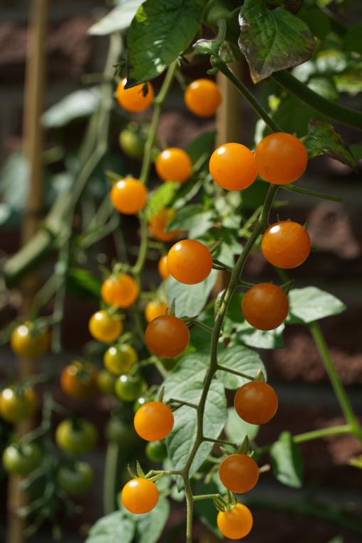 Wie an Schnüren hängen die Früchte der gelben Johannisbeertomate.