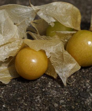 Physalis pruinosa ist sowohl unter dem Namen Erdkirsche, als auch unter dem Namen Ananaskirsche bekannt.