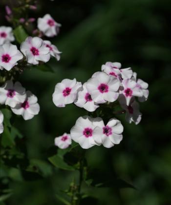 Phlox paniculata 'Zauberspiel' ist eine Flammenblume der bekannten Züchter Bärbel und Peter zur Linden aus Osnabrück.