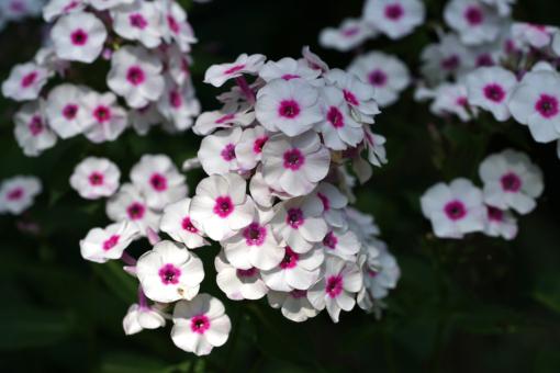 Phlox paniculata 'Zauberspiel' ist eine kompakte und ungewöhnliche Sorte der Flammenblume (Hoher Sommerphlox).