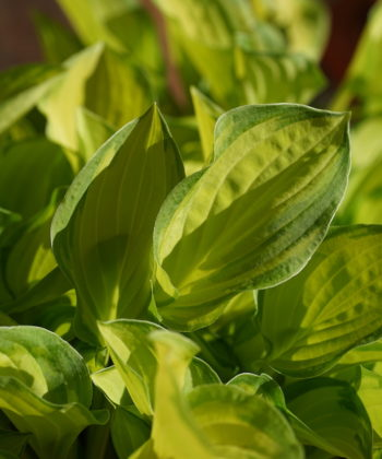 Zunächst treiben die Blätter der Hosta Emerald Tiara frisch hellgrün aus.