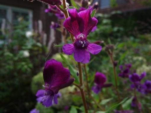 Die Blüten des Köcherblümchens Cuphea viscosissima erinnern an einen Fledermauskopf.