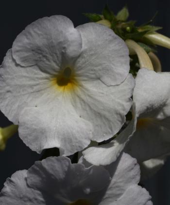 x Achimenantha Aries bringt nicht nur große, sondern auch viele Blüten hervor