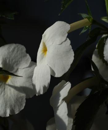 Der Schiefteller Achimenantha Aries ist ein Traum in Weiß.