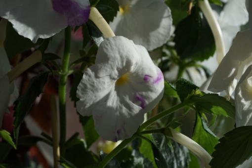x Achimenantha Aries zeigt ab und an violette Sprenkel