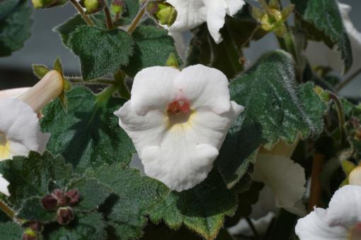 x Achimenantha White Angel besitzt dicke Blätter die an Usambaraveilchen erinnern.