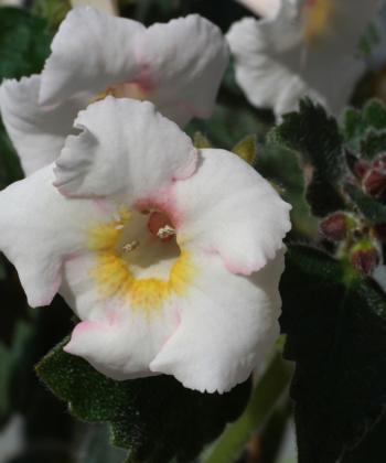 Achimenantha White Angel: ein Traum in Weiß.