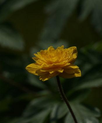 Anemone ranunculoides 'Aureus' stammt aus Estland.