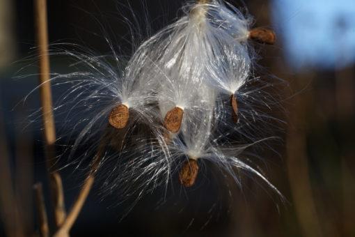 Auch im Herbst hat Asclepias exaltata noch ein Highlight parat.
