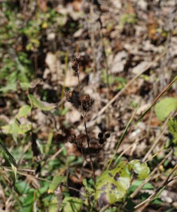Die Samenstände von Penstemon tenuiflorus CWAH2018121 im Couchvill Cedar Glade.
