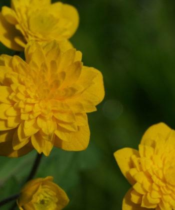 Das gelbe Windröschen Anemone ranunculoides 'Aureus' hat ebenmäßig gefüllten Blüten.