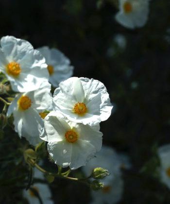 Die mittelgroßen schneeweissen Blüten Cistus x ledon leuchten über dem tiefgrünen Laub.