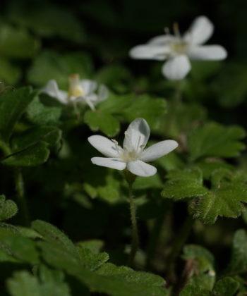 Ellisiophyllum