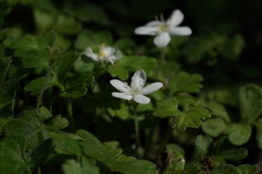 Ellisiophyllum pinnatum BSWJ197.