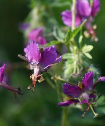 Geranium x monacense 'Breckland Fever'.