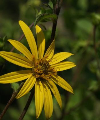 Silphium asteriscus var. dentatum CW2016206.