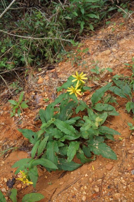 Silphium asteriscus var. dentatum CW2016206 am Naturstandort in Alabama.