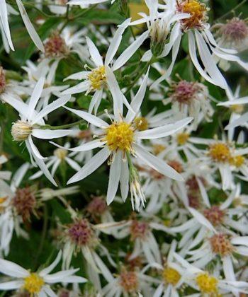 Die Waldaster Aster divaricatus 'Eastern Star' hat riesige Blüten.