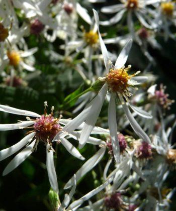 Aster divaricatus 'Eastern Star' ist von einem Schleier aus Blüten bedeckt.