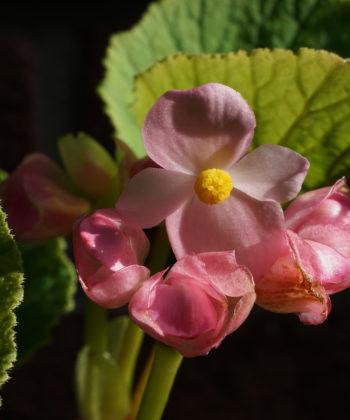 Begonia x 'Torsa' trägt die Blüten über dem Laub.