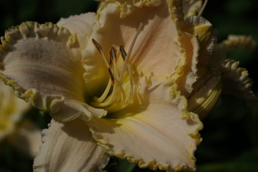 Hemerocallis 'White Mountain' besitzt riesige Blüten.